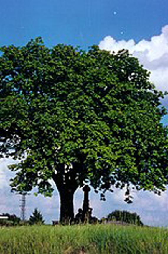 kEslbeere-Baum